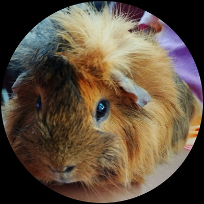 Guinea Pig Care for Beginners